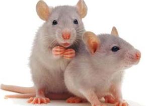 Ratapoil rat-à-poil